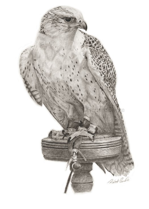 Gyrfalcon pencil portrait